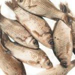 Живая рыболовная насадка живец карась