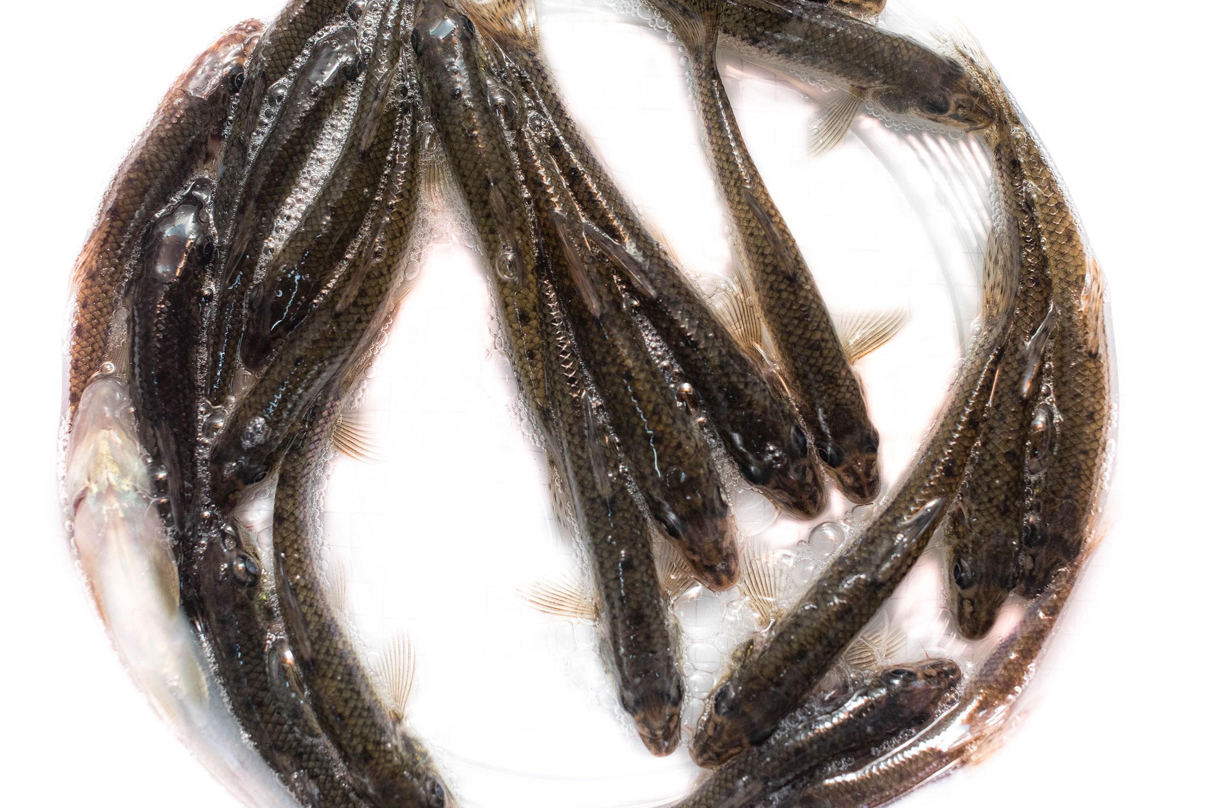 Живая рыболовная насадка живец пескаря