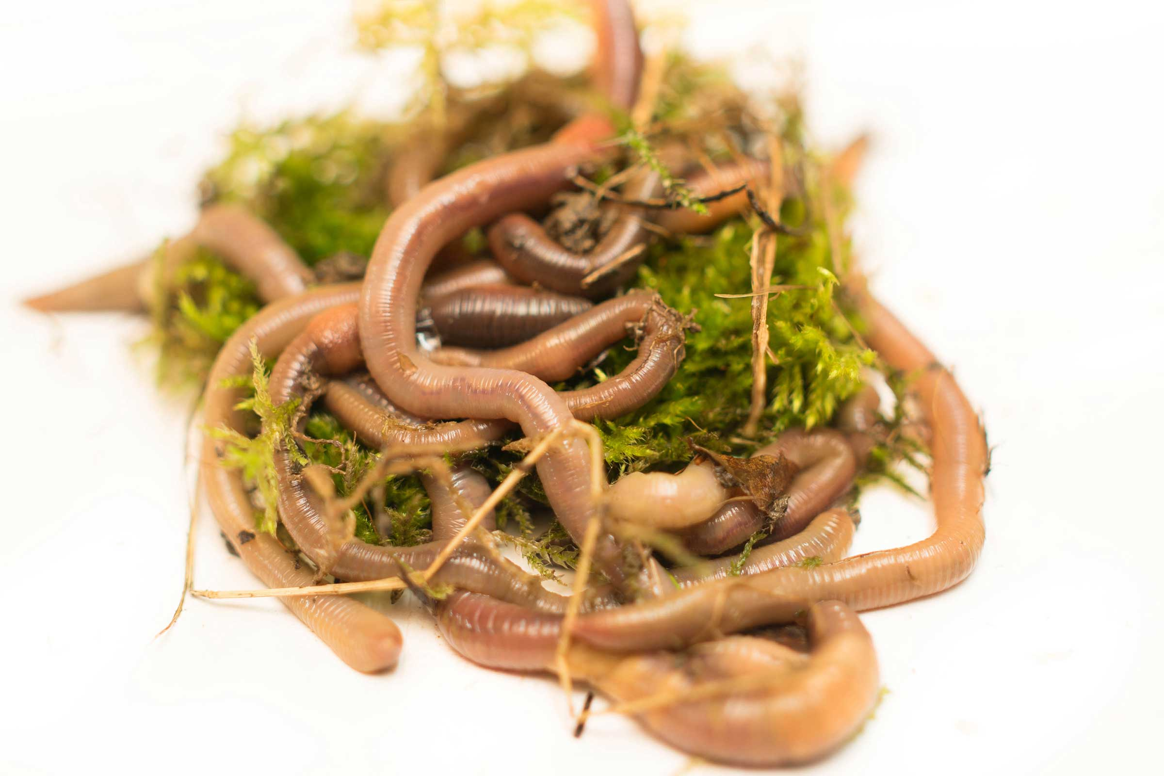 Живая наживка для рыбалки червь выползок