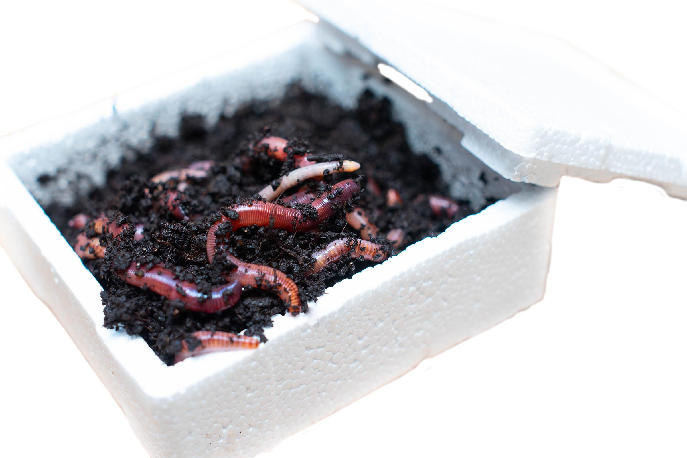 Живая наживка червь дендробена крупный в упаковке